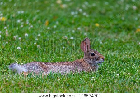 Easter cottontailed rabbit (Sylvilagus floridanus) resting in a field of clover on a warm Wisconsin July day