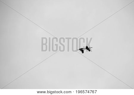 B & W photo silhouette of a pair of Sandhill cranes (Grus canadensis) flying against the sky-1.jpg