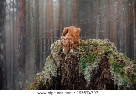 Nova Scotia duck tolling Retriever lies on the moss in the forest