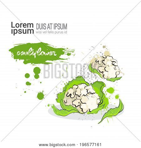 Cauliflower Hand Drawn Watercolor Vegetable On White Background With Copy Space Vector Illustration