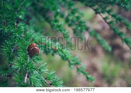 Сlose-up of a beautiful green larch tree branches with small brown cones covered with rain drops. Wild nature and rainy weather consent.