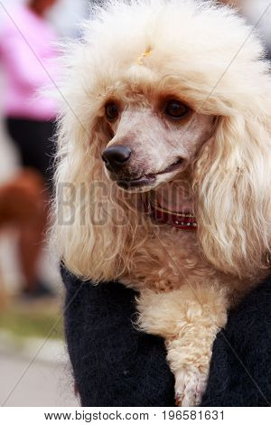 Poodle breed dog in the hands of its owner