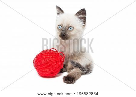 Kitten on white background kitten playing with ball summer Siamese cat