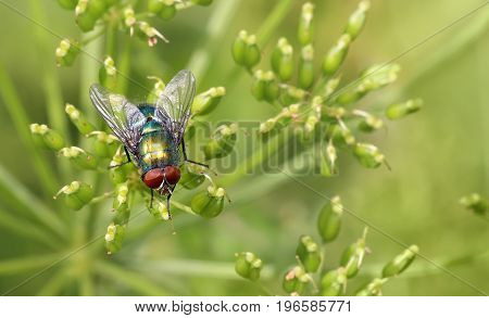 insect fly on on green leaf. green flesh fly lucilia caesar