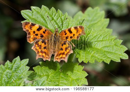 Comma Butterfly (polygonia C-album) Perched On Bush