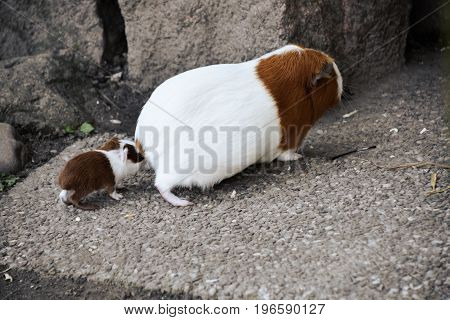 Mama Guinea pig and baby Mama Guinea pig in natural conditions