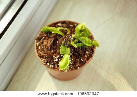 Dionaea muscipula in a pot on windowsill