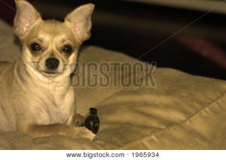 Chiuaua Dog