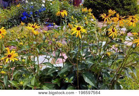 Black Eyed Susans brighten the garden in the sunshine