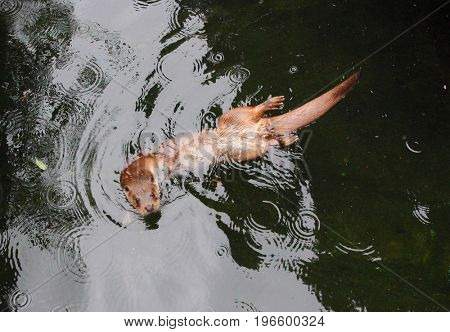 Aerial view of The European Otter - Lutra lutra swimming and playing on flowing river. This animal is dangerous pest for fish farm and aquaculture. Wildlife from above.
