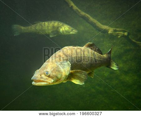 The Zander or Pike-perch (Sander lucioperca). Underwater photography from fresh water lake. poster