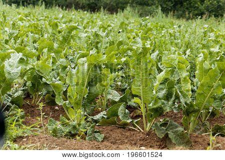 Horseradish plants Armoracia rusticana in a field.