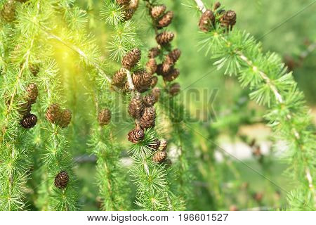 pine cone on a branch of larch at a summer day