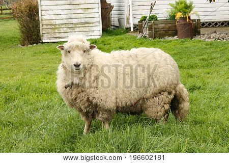 Sheep at a farm in New Zealand's northeast