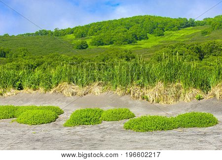 Vegetation in the sand on the Pacific coast on Kamchatka