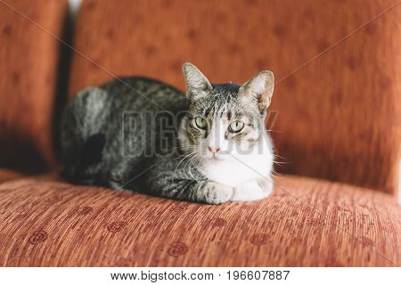 A Thai Cat With Gray And White Color