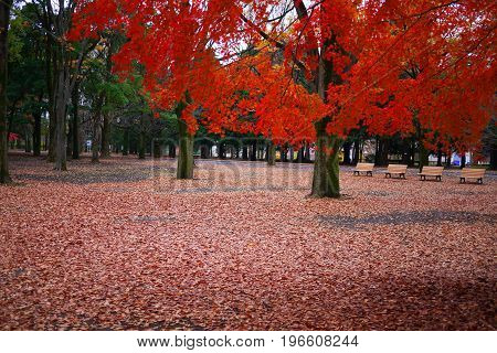 red leaves on ground with red maple tree in a park in autumn