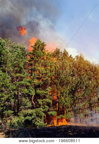 Coniferous forest in fire a lot of smoke