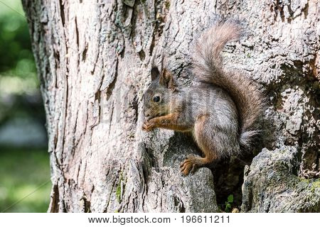 Red Fluffy Squirrel On Tree Trunk In Forest Eating Nut In Summer Day