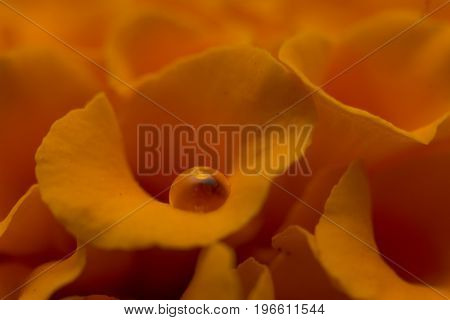 Yellow Velvet Celosia Flowers Close Up Compotion Photography