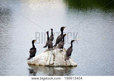 A flock of double crested cormorants (Phalacrocorax auritus) sits on a rock in a retention pond in Plainfield, Illinois, during June.