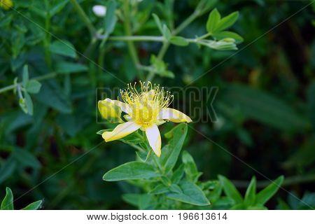 Perforate St John's wort (Hypericum perforatum) blooms in Plainfield, Illinois during June.