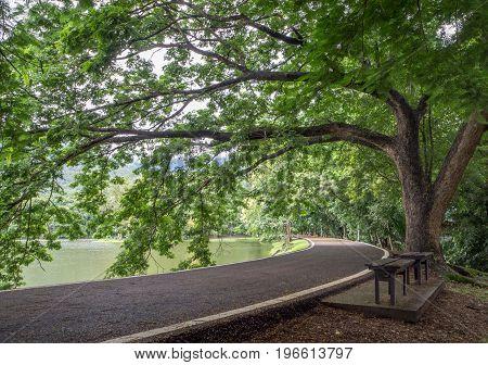 Big tree near the reservoir in Chiang Mai UniversityThailand.