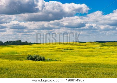 Blossom canola or colza flowers field on sunny summer day. Beautiful rural landscape