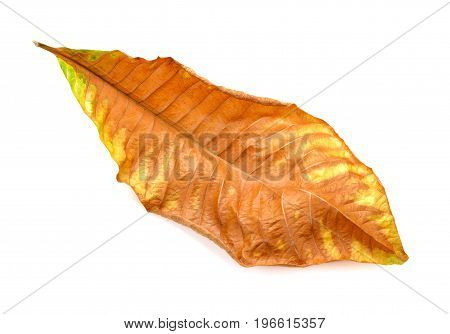 Dried leaf isolated on white background .