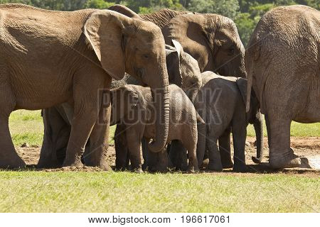 Large family of elephants standing close together at a waterhole