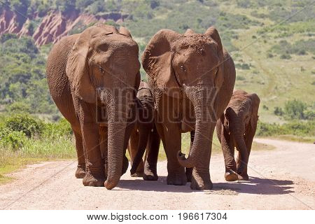 Elephant family walking close together on a gravel road in bright sunshine
