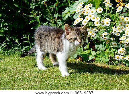 Nine week old grey tabby kitten standing in the garden UK.
