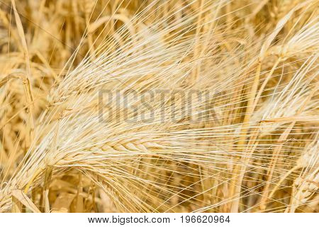 Background of the several ripe barley ears on the barley field at summer day