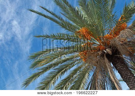 Dates palm plantation in Southern Israel. Close up.
