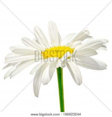 One Chamomile Flower Side View With Stem Isolated On White Background
