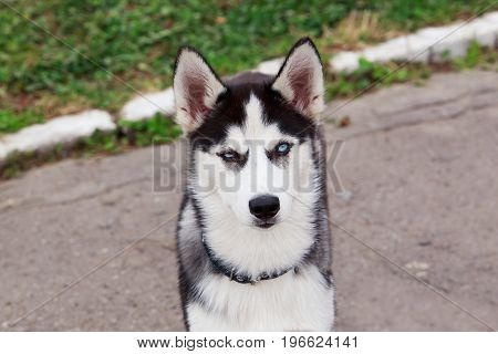 One little cute puppy of dog breed Siberian husky outdoors
