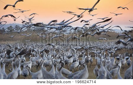 A flock of migrating cranes is seen at the Hula Lake ornithology and nature park in northern Israel. poster