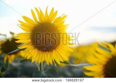 Sunflower Field Landscape. Field Of Blooming Sunflowers On A Background Sunset. Sunflower Natural Ba