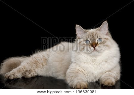 Cute Neva Masquerade Cat with Blue Eyes Lying on Isolated Black Background poster