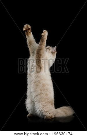 Playful Neva Masquerade Cat Standing on rearing up and stretched paws on Isolated Black Background