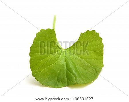 fresh green asiatic Pennywort leaves on white background