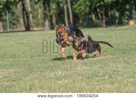Two German Shepherd Running Through the Grass. Selective focus on the dog