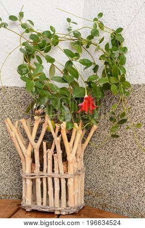 Rustic wooden flower over-pot self-tufted with flowering mandevilla