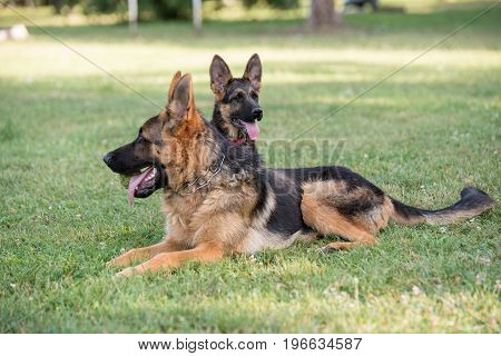 Two German Shepherd sitting on the green grass. Selective focus on the dog