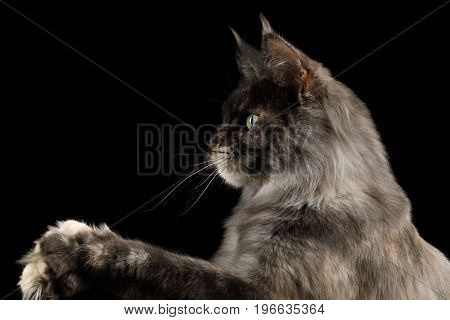 Portrait of Tortoise Maine Coon Cat in profile view with paw Isolated on Black Background