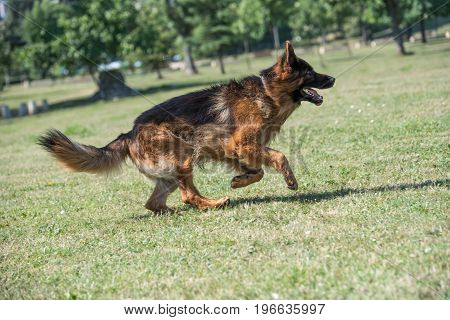 German Shepherd Running Through the Grass. Selective focus on the dog