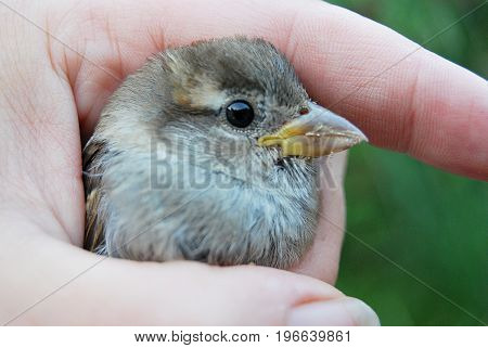 A young sparrow in the hand of a woman