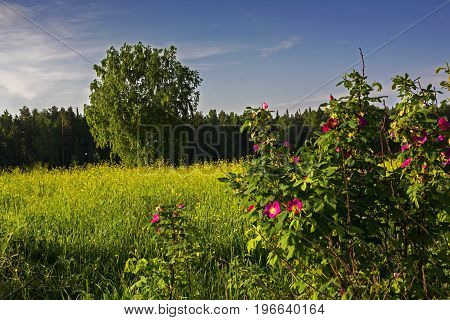 Summer landscape with tree and blossoming flowers of a dogrose.