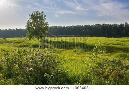 Summer landscape with birch in field  and blossoming flowers of a dogrose.