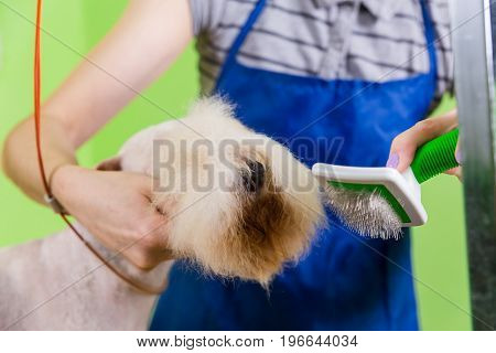 Combing Hair Brush On The Dog's Face.